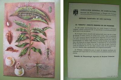 postal-publicidad-advertising-postcard-la-crisopa-insecto-enemigo-de-los-pulgones-dibujo-de-mgonzale