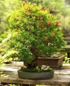Zwerg-Granatapfel 10 Samen (Punica granatum nana)