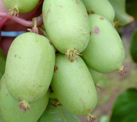 Bayern-Kiwi-Set: männliche und weibliche Pflanze, Actinidia arguta