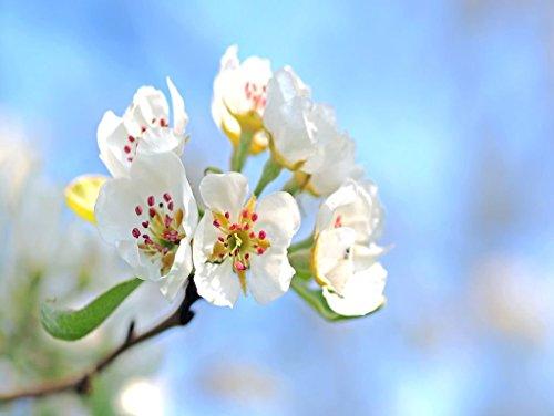 Birnbaum Blume (Lais Puzzle Birnbaum 1000 Teile)