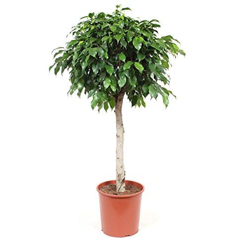BOTANICLY | Plantas naturales - ficus | Altura: 105