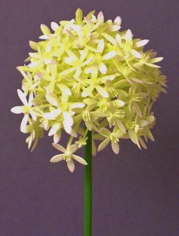 Kunstblume Allium 64cm. Farbe weiß WEISS CREME