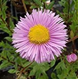 ASTONISH Pacchetto semi: 10000 Seeds - Erigeron Rosa Jewel Seeds