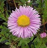 VISA STORE 10000 Seeds - Erigeron Rosa Jewel Seeds