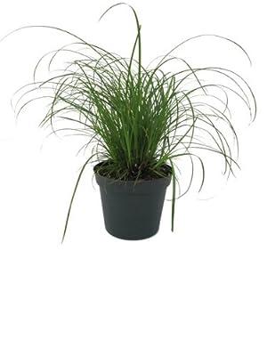 Katzengras, Hochwertiges Cyperus-Katzengras, im 12 cm Topf, zur Verdauungsunterstützung von Landgard - Direktabrechnung *LA auf Du und dein Garten