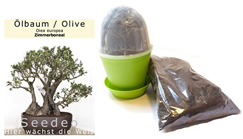Seedeo Bonsai Anzuchtset Ölbaum / Olive (Olea europea)