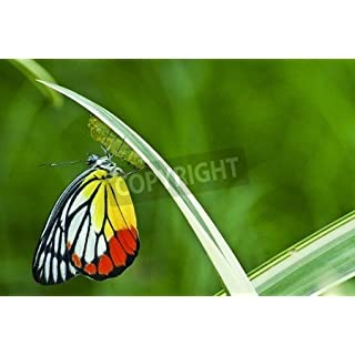 adrium Monarch Butterfly, Milkweed Mania, baby born in the nature (15390647), Poster, 120 x 80 cm