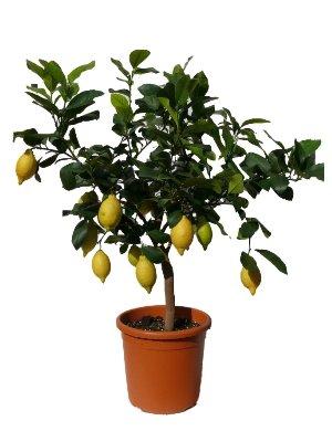 Zitronenbaum Grande