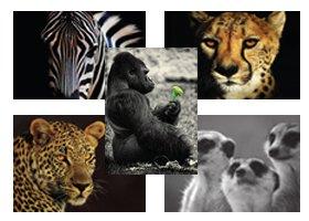 Wild im Herzen Tierpostkarten Großer Value Multipack Bilder inspiriert von der Natur