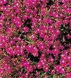 SeeKay Lobelia Cascade Red Appx 1,500 seeds