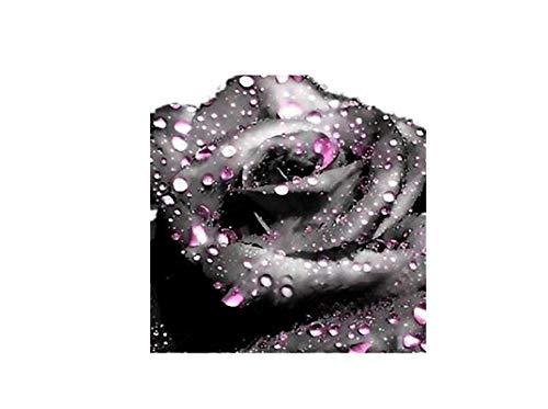 KINGDUO 100 Pcs Noir Rose Graines Roseraie Vert Foncé Bonsai Plantes Vivaces Fleurs Graines-1