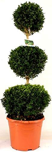 Buchsbaum Buchsbaum Floretta