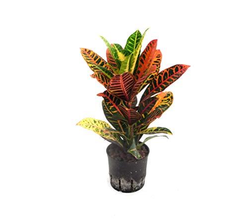 EVRGREEN | Zimmerpflanze Wunderstrauch in Hydrokultur mit schwarzem Topf als Set | Kroton | Croton variegatum 'Petra'