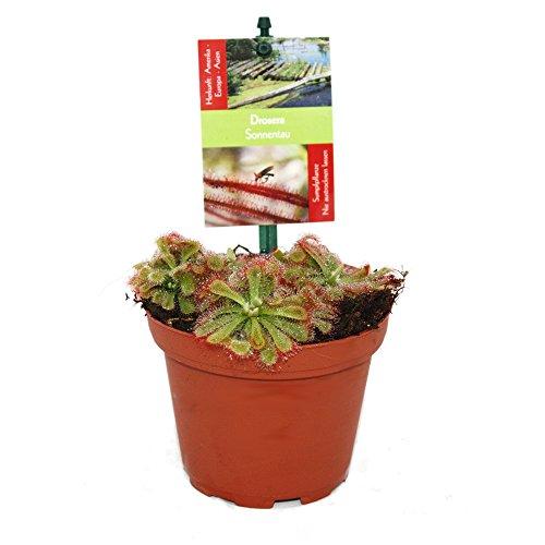 Sonnentau - Drosera alicae - 9cm Topf