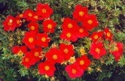 potentilla-fruticosa-red-robin-in-a-1-l-pot-height-20-30-cm