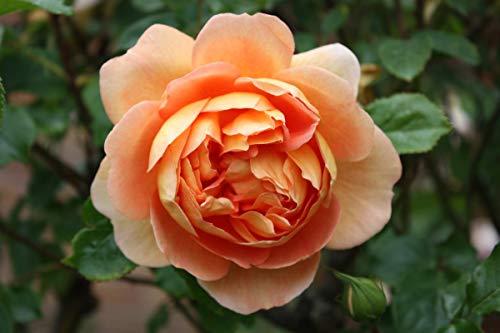 Rose Pat Austin® (im grossen Container) - kräftige Pflanze im 6lt.-Container