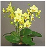 100 Pcs / Pack Phalaenopsis Saplings Bon...
