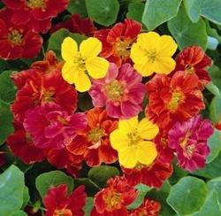 Galleria fotografica Fiore - Kings Seeds - Confezione Multicolore - Nasturzio - Jewel Mix