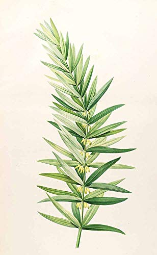 JH Lacrocon Pierre-Joseph Redoute - Polygonatum Verticillatum Leinwandbilder Reproduktionen Gerollte 30X50 cm - Blume Gemälde Gedruckt Wandkunst