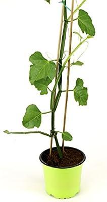 """Asthisamharaka Cissus quqdrangularis, """"Des Teufels Rückgrat"""" ayurvedische Heilpflanze von Weseler Kräuterparadies - Du und dein Garten"""