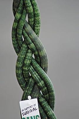 Sansevieria cylindrica,geflochten,kräftige Pflanzen ,13er Topf,35-40cm von tropicenter - Du und dein Garten