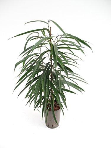 Birkenfeige, Ficus binnendijkii Alii, Zimmerpflanze in Hydrokultur, 15/19er Kulturtopf, 60 - 80 cm
