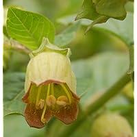 Hexenkraut 200 Samen Atropa belladonna Schwarze Tollkirsche