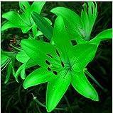 Fash Lady 11: Semillas de Lirio, Semillas de Lirio de Perfume, Mezcla de Diferentes variedades Semillas de Flores- 100 Piezas 11