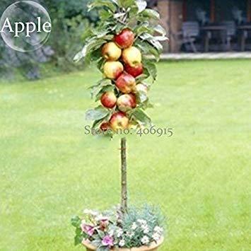 Pinkdose2018 Heißer Verkauf Bonsai Apfelbaum Samen Garten Hof Outdoor Living Obst Anlage, 10 Samen, gesunde KÃstliche Ernährung Früchte E3664