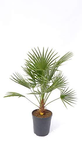 Palme Zwergpalme 80 cm Chamaerops Humilis, winterhart bis -12°C