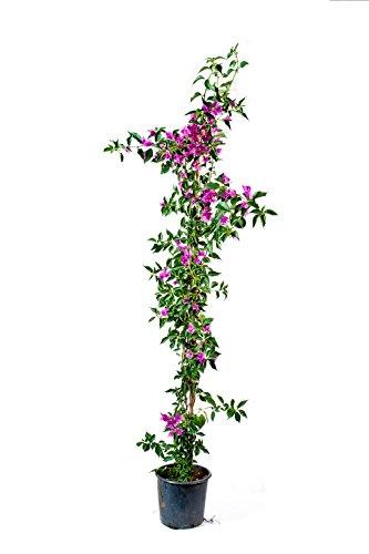 Pianta rampicante fiorita bouganvillea rosa da giardino *pianta vera* Ø 17 cm - h 130 cm