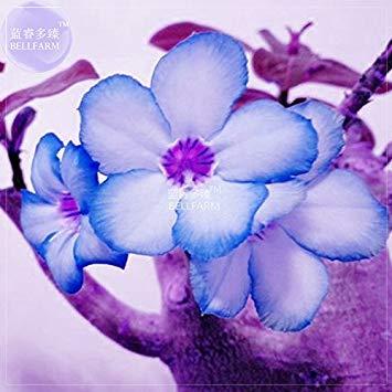 Visa Store 2018 Heißer Verkauf Davitu Weiß Adenium Desert Rose mit Blue Edge Bonsai Blumensamen, 2 stücke, Einzelne Blütenblätter Einfach zu Blühen Bald BD196H