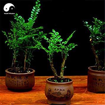 vegherb Kaufen lobulären rotes Sandelholz Baumsamen 100Pcs Pflanze Pterocarpus Santa Zi Tan