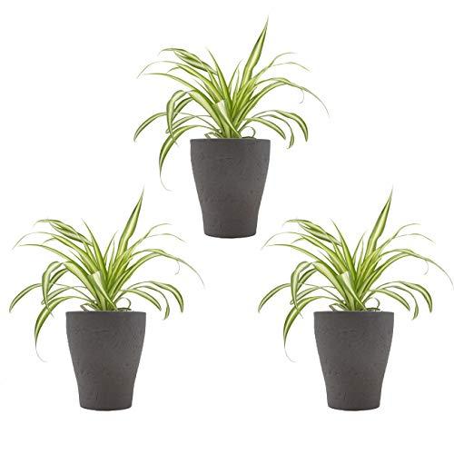 """Grnlilien-Trio + Scheurich Ochrid Edition umber, 3 Pflanzen + 3 Deko-T""""pfe"""