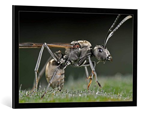 framed-art-print-donald-jusa-winged-carpenter-ant-decorative-fine-art-poster-picture-with-high-quali