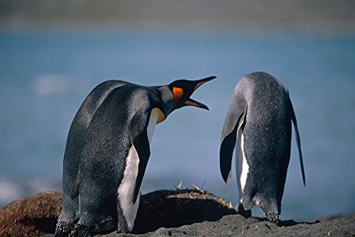 tom-soucek-design-pics-group-of-king-penguins-interacting-together-on-beach-south-georgia-island-sum