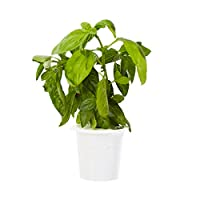 Designed to be paired with your Click and Grow Smart Gardens, why not try your hand at growing Basil! Including 3 individual plant pods, the innovative smart soil contains everything your seeds need to get growing. You'll be enjoying your home-grown ...
