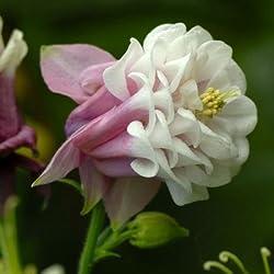 50 Samen Home Garten Frangipani Plumeria rubra Lei Ei Blumensamen