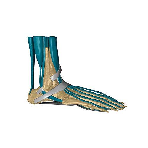 Erler Zimmer Fußskelett mit Bändern, Bandapparat, Muskeln Anatomie Modell Lebensgroß mit Stativ