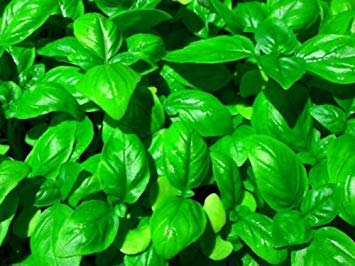 Farmerly 30 Seeds of Genovese Basil Seeds -
