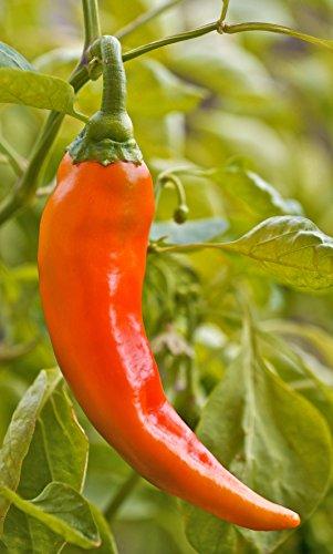 Paprika Antalya´ dan (Capsicum annuum) 20 Samen Reinsaat