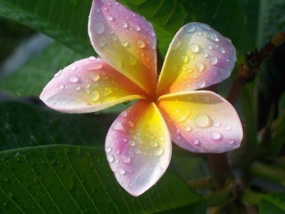 plumeria-4-samen-imperial-crown-frangipani-samen