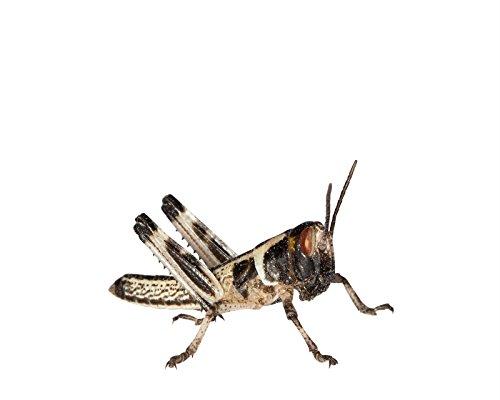 Heuschrecken 100 kleine Wüstenheuschrecke Futterinsekten Reptilienfutter