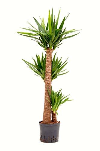 Riesenpalmlilie 120-140 cm in Hydrokultur 22/19er Kulturtopf pflegeleichte Zimmerpflanze für Halbschatten asiatische Zimmerpflanze Yucca elephantipes
