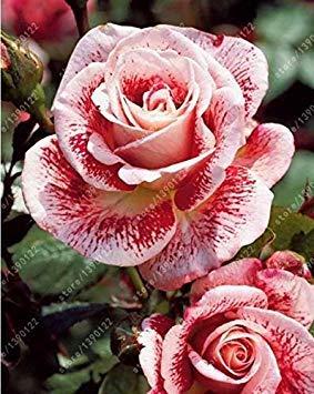 200pcs / sac rare graines rose multi-couleur rose graines de fleurs bonsaï graines bonsaïs noir rose plante rare balcon pour le jardin à la maison 13 mis en pot