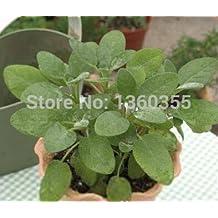 primrose plants for sale