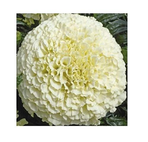 10x F1 Riesen Weiß Vanille African Marigold Samen Garten Pflanze #56
