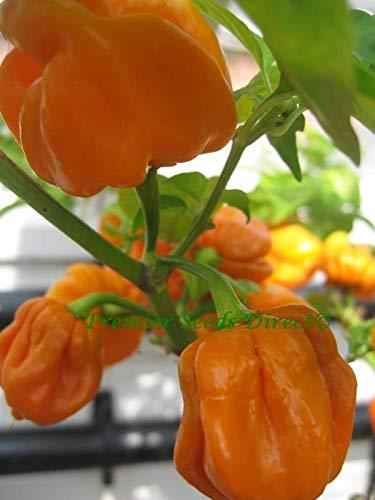 Portal Cool Gemüse Hot Chili Habanero Mustard 60 Samen