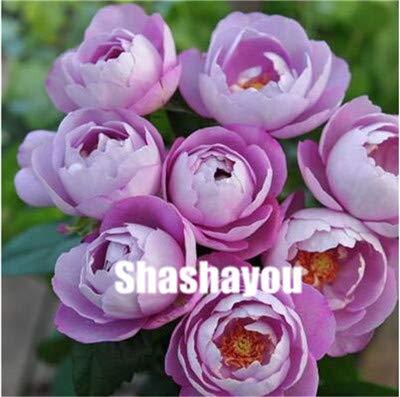 Pinkdose 100 pz misto cinese rose piante perenne rosa rosso bianco giallo rose fiori profumati 4 tipi di piante rampicanti per la casa giardino: 8