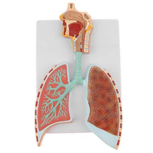 YCHY Menschliches Lunge Atmungssystem Modell für Biologie Anatomie Studium Schule Labor Lehrmittel